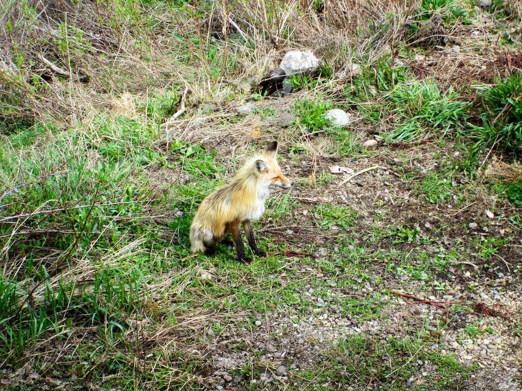 Fox seen near the snake river, Grand Teton National Park