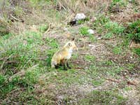 Fox seen near the snake river, Grand Teton National Park
