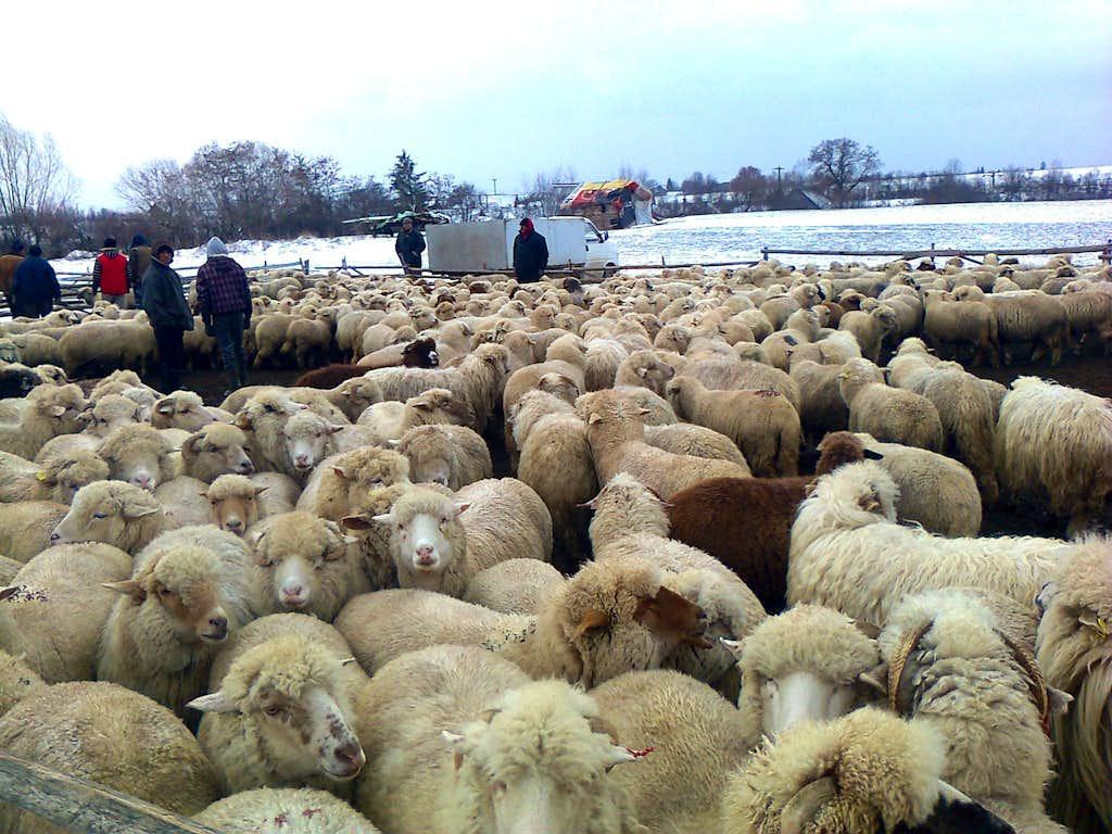 Sheep near Crizbav