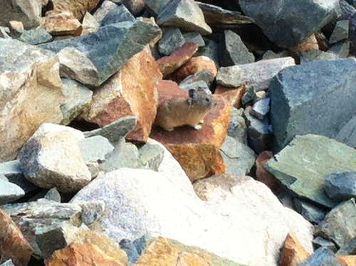 Can you spot the pika?