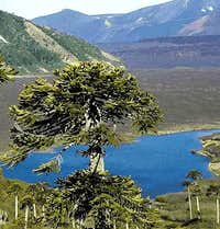 Arauracia tree in front of a small lake near Lonquimay