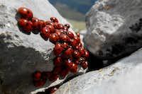Ladybug colony on the summit