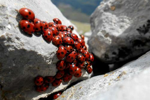 Ladybug colony on the summit