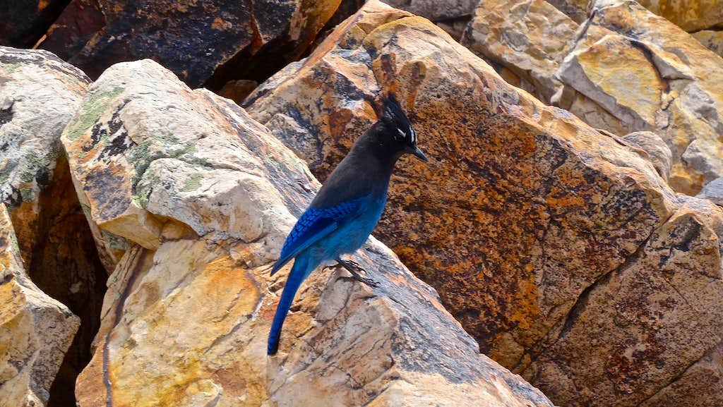 Steller Jay on the summit of Olympus.
