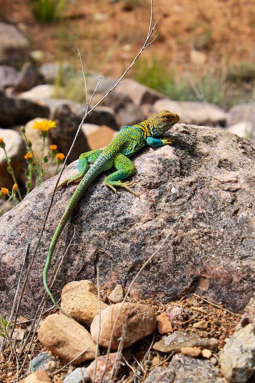 Yellow Collared Lizard