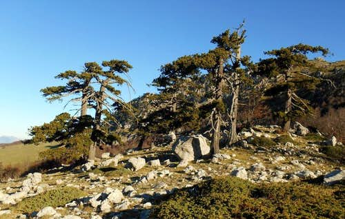 Bosnian Pines on the col between Serra delle Ciavole and Serra Dolce Dorme
