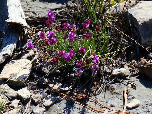 Fossil Ridge Blossoms
