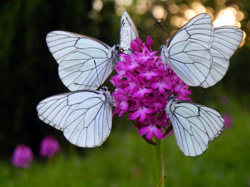 A flower, six butterflies - Anacampitis Pyramidalis / Orchidea piramidale