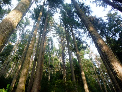 The tall second growth forest