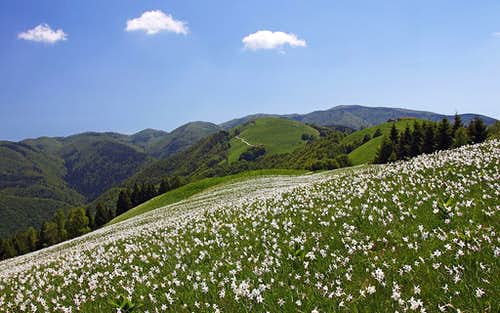 Narcissus fields below Malga Garda