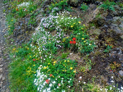 Flowers from near the summit