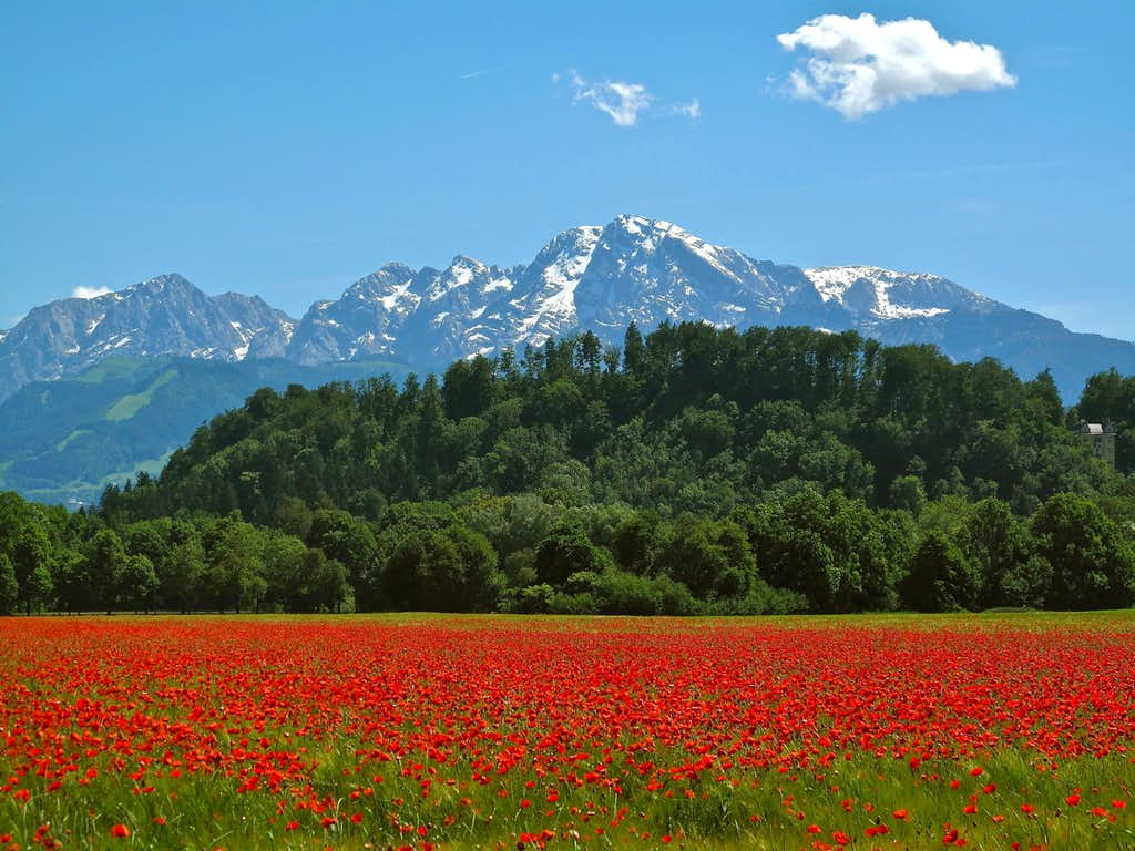 Poppies in front of Hoher Göll