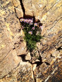 Mount Olympus rock flower