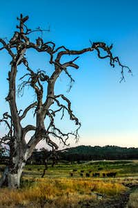 Dramatic dead oak with living cattle