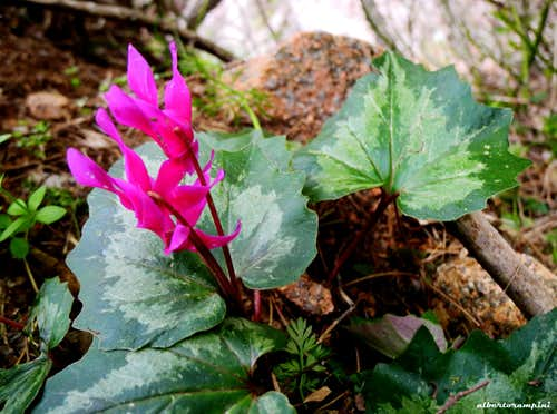Cyclamen born after the flood...(Bavella Massif)