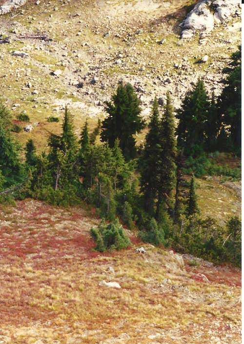 Mtn Goat below Naches Peak