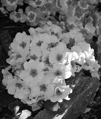 Nearly Seven Various Authors in B&W (By  Antonio) Mountain Bouquet