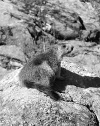 Nearly Seven Various Authors in B&W (By  Antonio) Marmot