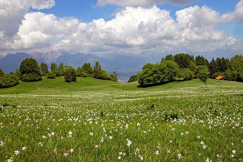 Narcissus meadows below M. Garda