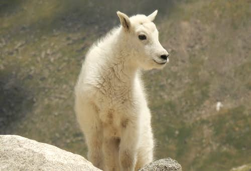 Young Mountain Goat - Mt Evans