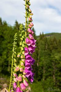 Digitalis purpurea from Obri Dul
