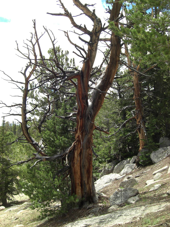 Ibapah Peak Tree 1