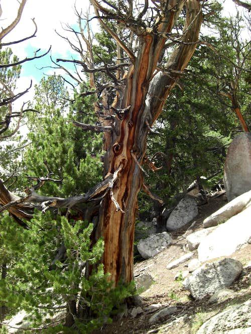 Ibapah Peak Tree 2