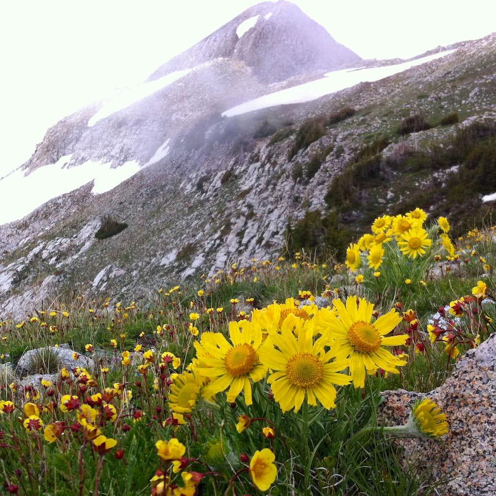 Alpine Ridge wildflowers