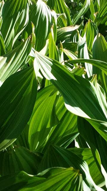 Corn Lilies in Round Valley