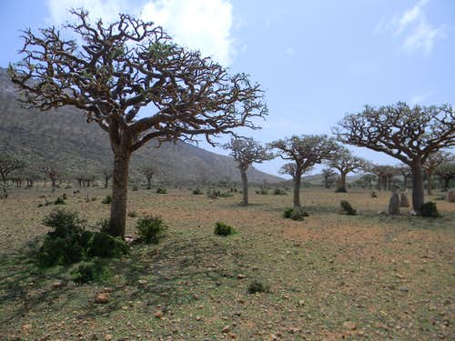 Frankincense Trees, Homhil Protected Area