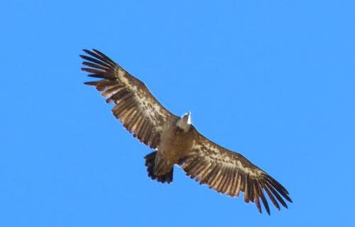 Vulture over the Pyrenees