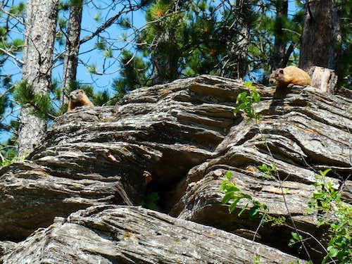 Curious Marmots