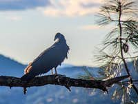 Vulture on a pine branch