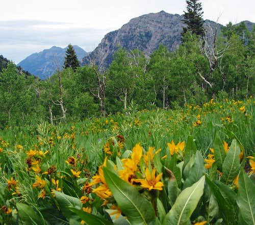 Wildflowers near Provo Peak trailhead