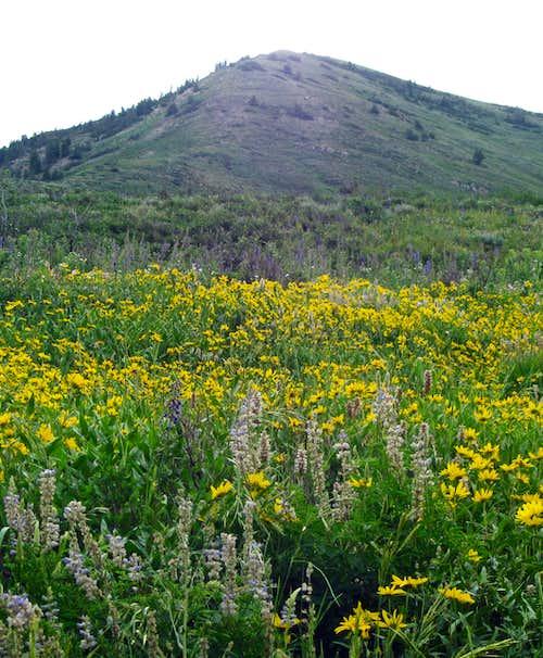 Wildflowers below Provo Peak