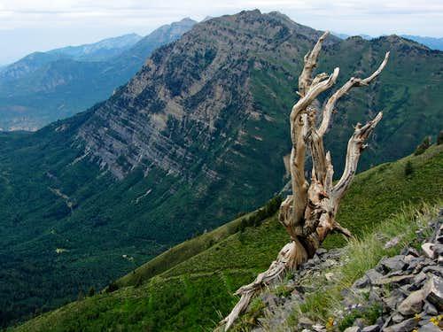 Provo Peak dead tree