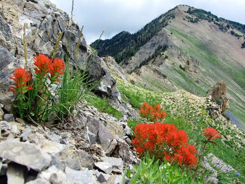 Provo Ridge wildflowers