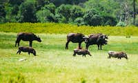 Buffalos and Warthogs in...