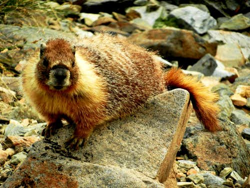 A yellow-bellied marmot