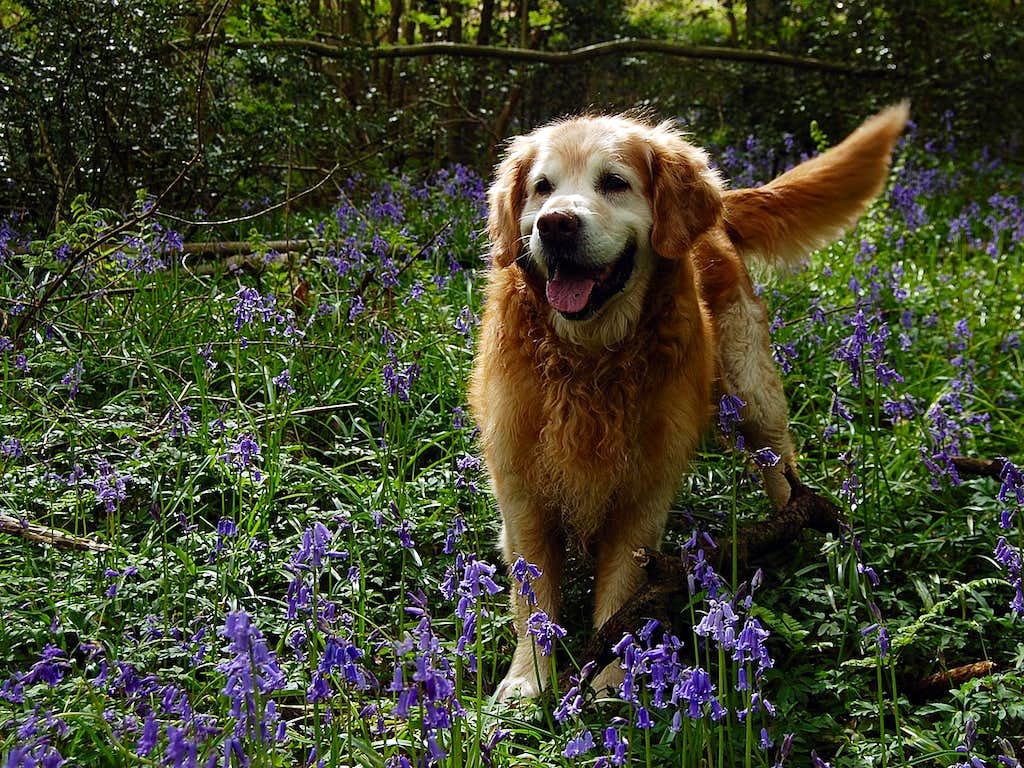 Jake in bluebell woods
