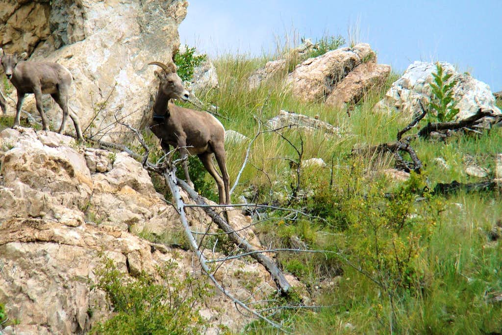 Hell Canyon Bighorns