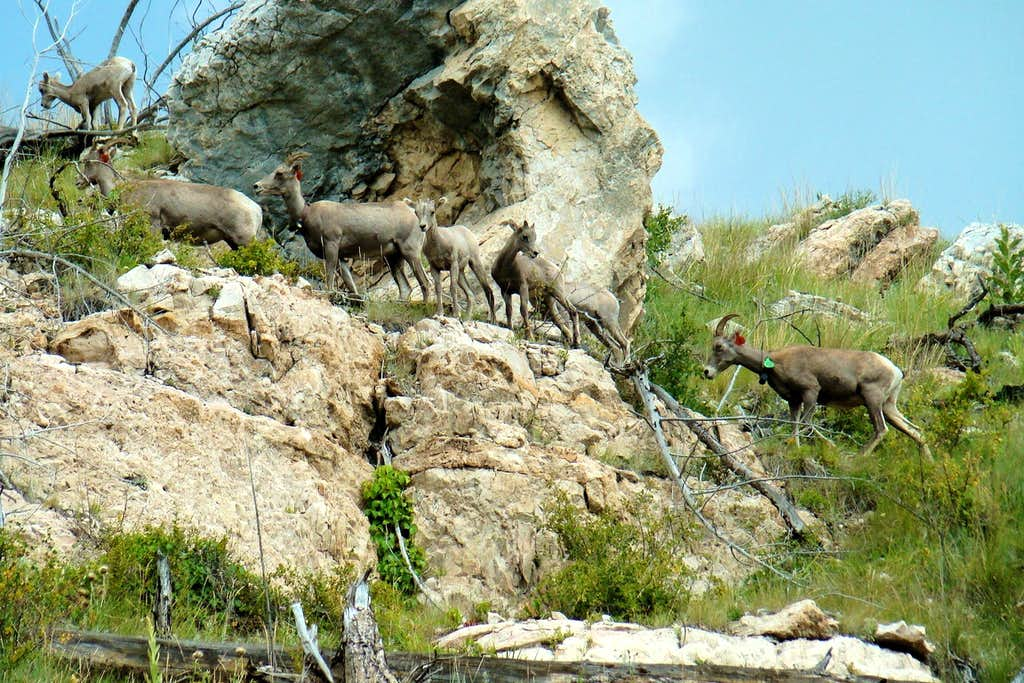 Herd of Bighorn Sheep