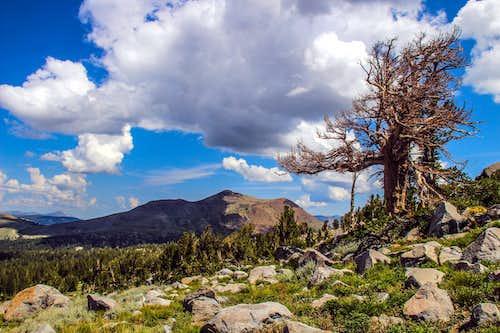 Red Lake Peak and white bark pine