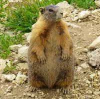Marmot near Redcloud Peak