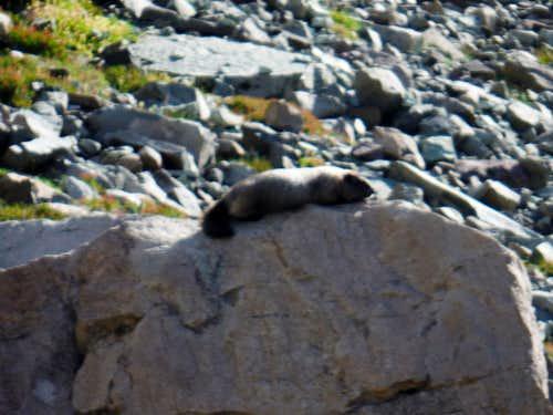 Marmot pose