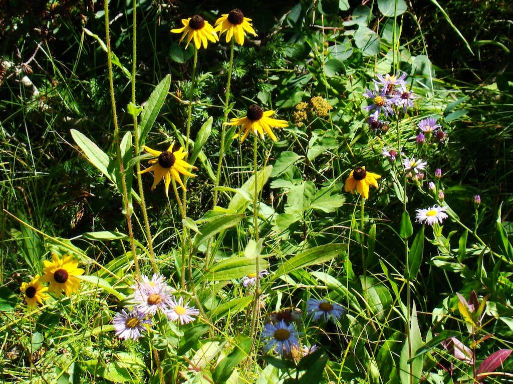 Terry Peak Wildflowers