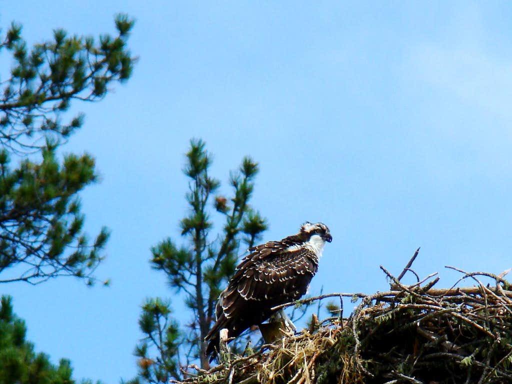 Pactola Area Osprey