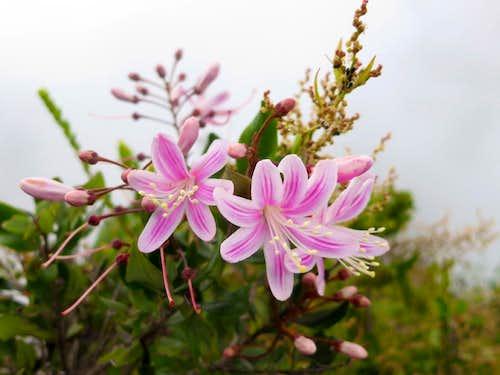 Lilies on Huayna Picchu