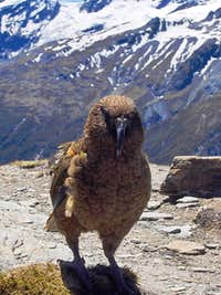 Kea near Cascade Saddle
