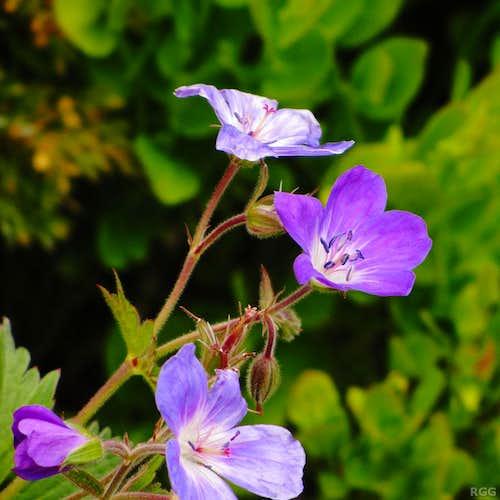 Geranium sylvaticum in the Turtmanntal